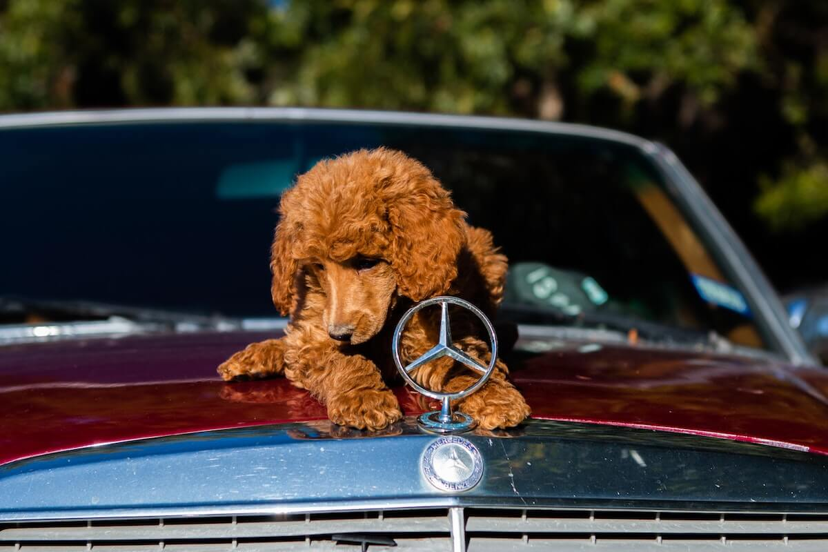 dog on top of car hood